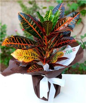 Kraton (Cratone) Saksı Çiçeği