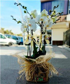 Beyaz Orkide Tasarım