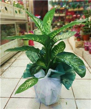Orta Boy Dieffenbahia Tropic