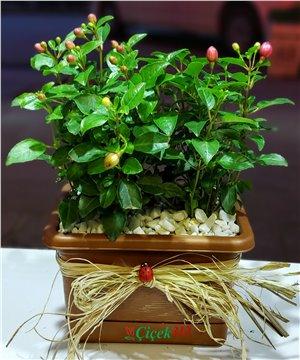 İkili Fuchsia(Küpe Çiçeği)