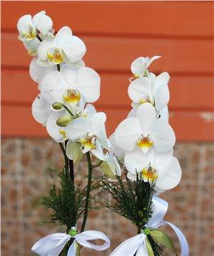 Seramik Vazoda Papatyalı Orkide
