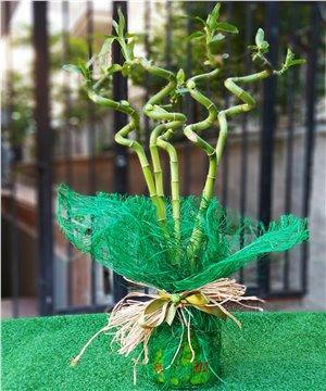 Cam Vazoda Şans Bambu Düzenlemesi