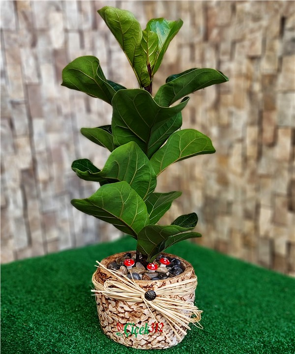 Ficus Pandurata Plant