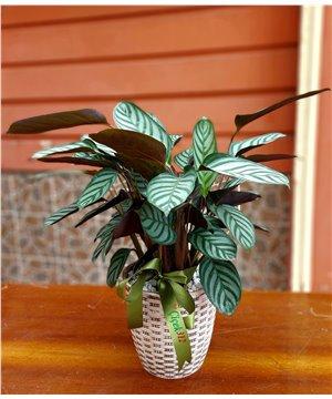 İthal Calathea Anulque (Dua Çiçeği)