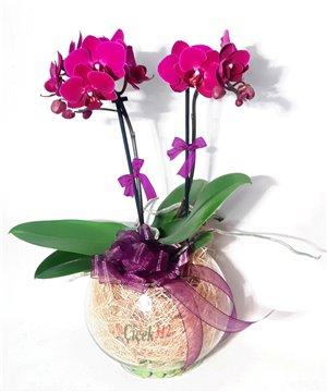 Minyatür Mor Orkide