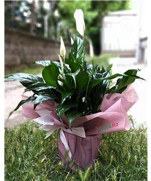 Spathilyum(Barış) Çiçeği